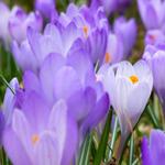 Krokusvakantie in België: hier vind je alle voordelige doe-tips, uitjes en andere lenteaanbiedingen